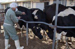اتمام طرح رایگان واکسیناسیون تب برفکی در دامهای سنگین و سبک در اهر