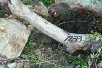 کشته شدن یک قلاده خرس قهوه ای در مرز اهر و مشگین شهر