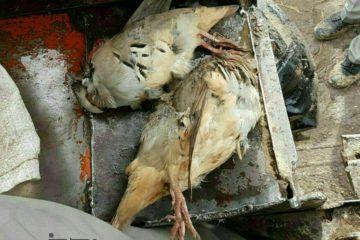 شکارچیان متخلف در ورزقان دستگیر شدند