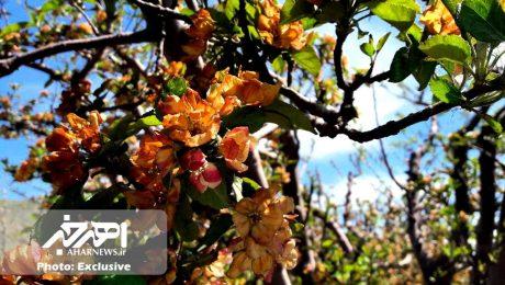 خسارت ۱۶۲ میلیارد تومانی سرمازدگی به باغات اهر / باغبانان اهری نیازمند تسهیلات کم بهره هستند