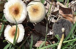 مسمومیت ۳۱ نفر در استان آذربایجان شرقی با مصرف قارچ های سمی
