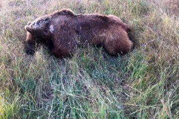 کشته شدن خرس قهوه ای در اهر / علت پنهان کاری اداره محیط زیست اهر چیست؟