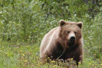 انجام تحقیقات برای شناسایی شکارچی متخلف خرس قهوه ای در اهر