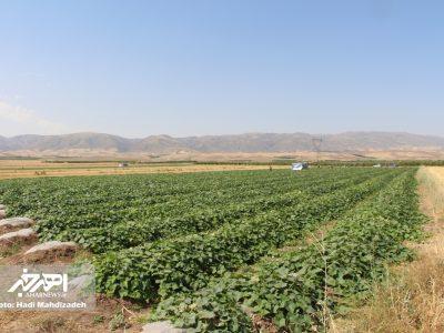 بازدید فرماندار اهر از مزرعه کشت خیار به روش تونلی در این شهرستان