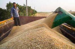 ۵۱۶ هزار تن گندم از کشاورزان آذربایجان شرقی خریداری شد