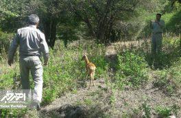 رها سازی یک رأس شوکا در منطقه حفاظت شده ارسباران