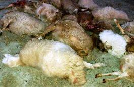 تلف شدن ۲۱ رأس گوسفند توسط گرگ ها در هوراند