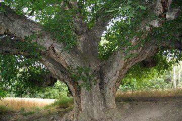 ثبت ۳ اثر طبیعی منطقه ارسباران در فهرست آثار ملی / درخت کهنسال روستای زگلیک اهر ثبت ملی شد