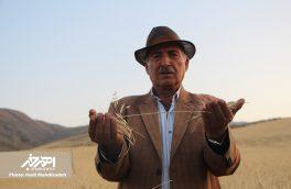 آئین شکرگزاری برداشت گندم در روستای مزرعه حاج عابدین شهرستان اهر