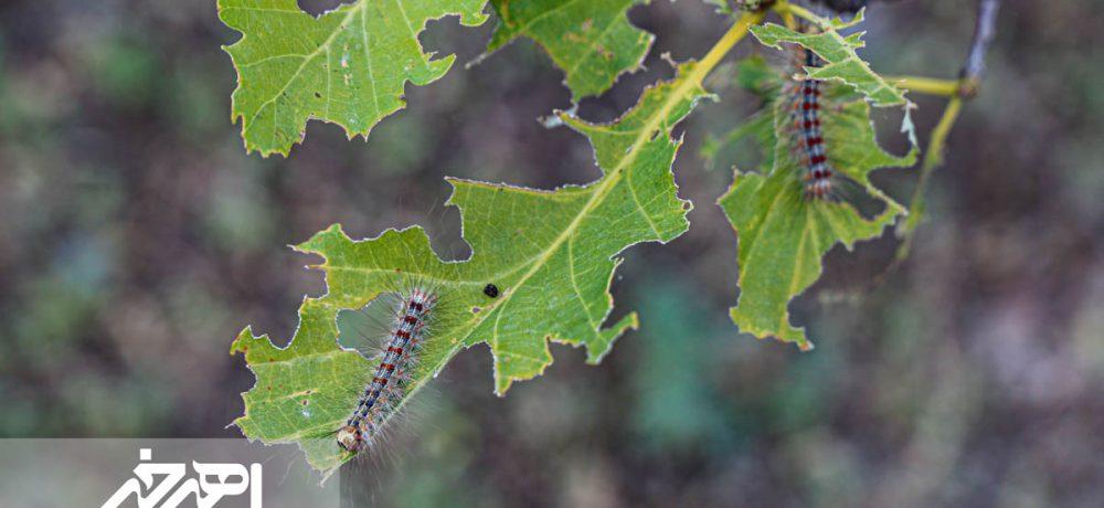 زنگ خطر برای جنگل های ارسباران / طغیان آفت پروانه دم قهوه ای در مکیدی دره سی کلیبر