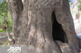 کهنسال ترین درخت ارسباران ثبت ملی شد