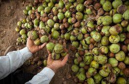 کاهش سه هزار تنی تولید گردو در آذربایجان شرقی در اثر سرمازدگی