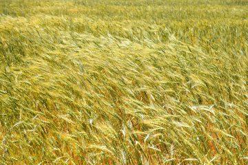 طرح امنیت غذایی در ۸۱ هزار هکتار از مزارع آذربایجانشرقی اجرا میشود