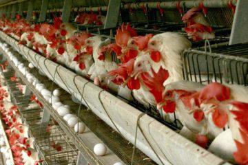 ۵۰ درصد تولید تخم مرغ در آذربایجانشرقی مازاد بر نیاز است