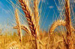 ۲۹۰ هزار تن گندم از کشاورزان آذربایجانشرقی خریداری شد