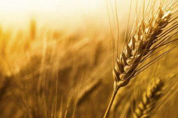 طرح امنیت غذایی موجب افزایش ۲۵ درصدی عملکرد کشت دیم میشود