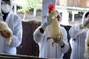 آنفلوانزای پرندگان در آذربایجان شرقی وجود ندارد