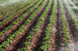 تحقق ۹۱ درصدی کشت گندم پاییزه در آذربایجان شرقی