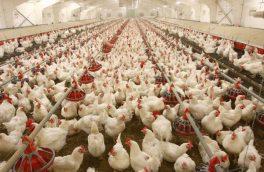 خودکفایی آذربایجان شرقی در تولید گوشت مرغ