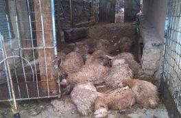 علوفه آلوده جان ۱۷ راس گوسفند را در مهربان گرفت