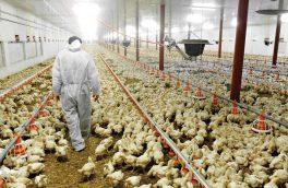 آنفلوانزای فوق حاد پرندگان در آذربایجان شرقی مشاهده نشده است