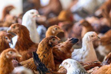 معدوم سازی ۱.۴ میلیون قطعه طیور برای مقابله با آنفلوانزای پرندگان