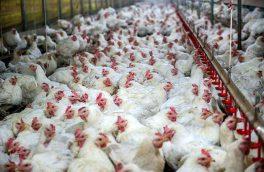 موافقت اولیه تولید ۱۲.۳ میلیون قطعه مرغ گوشتی در آذربایجان شرقی
