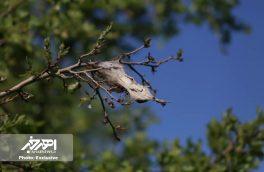 مبارزه با آفت برگ خوار بلوط در جنگل های ارسباران آغاز شد