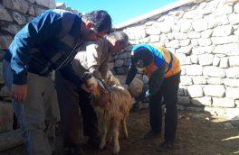آغاز واکسیناسیون دامی علیه بیماری طاعون در آذربایجان شرقی