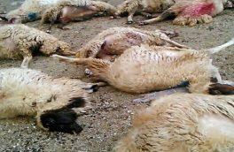 حمله گرگ گرسنه به آغل گوسفندان در اهر