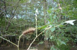 عملیات کنترل آفت ابریشم باف ناجور در جنگل های ارسباران ادامه دارد