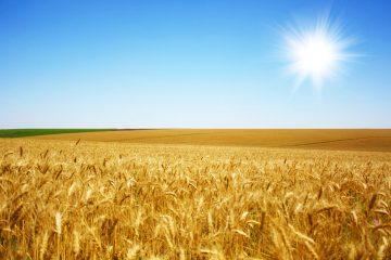 برداشت ۲۵ هزار تن گندم در شهرستان اهر