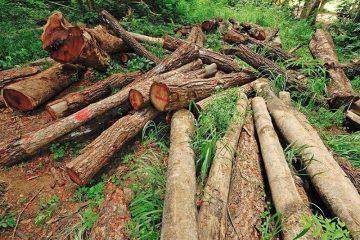 در جنگل های قره داغ، قطع سازمان یافته نداریم