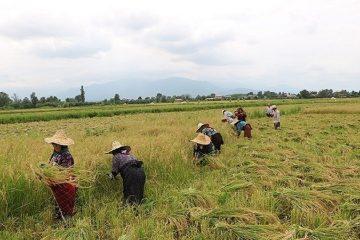 برداشت ۲۵۰۰ تن برنج از اراضی شهرستان خداآفرین