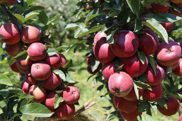 برداشت ۱۳۰ هزار تن انواع محصولات باغی در شهرستان اهر