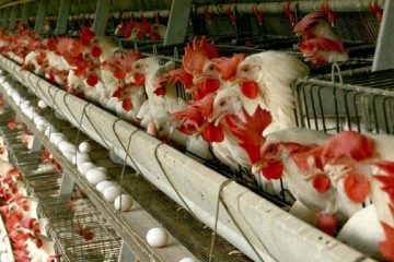 وجود ۳۵ واحد مرغداری در شهرستان اهر