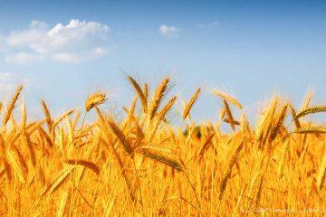 ۲۵ هزار تن بذر گندم اصلاح شده در آذربایجان شرقی توزیع میشود